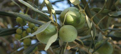 oliven 4